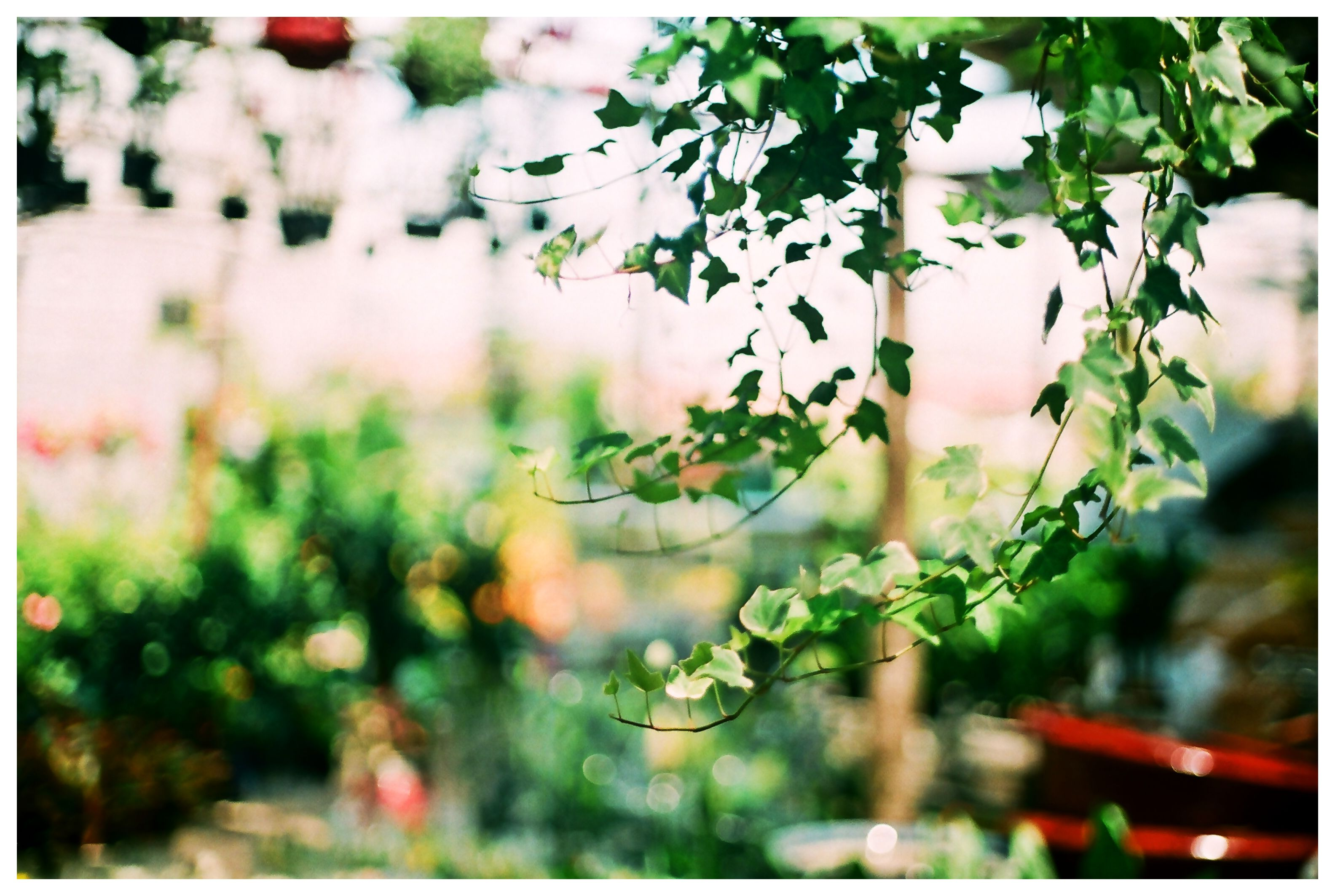 Creeper in nearby garden. Canon T80, Paragon 200, Fujifilm ProPlus 200. #flower #filmphoto