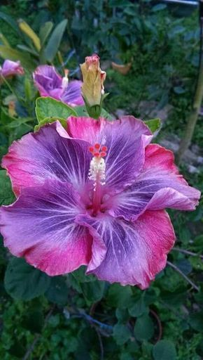 Hibiscus Unknown Name Origin Hibiscus Plant Hibiscus Flowers Flower Seeds