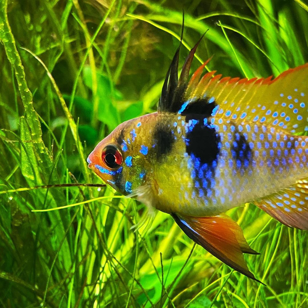 Fish Anonymous On Instagram My German Blue Ram Is Getting Bigger And Showing Off Amazing Color In 2020 Fish Tank Design Fish Freshwater Aquarium Fish