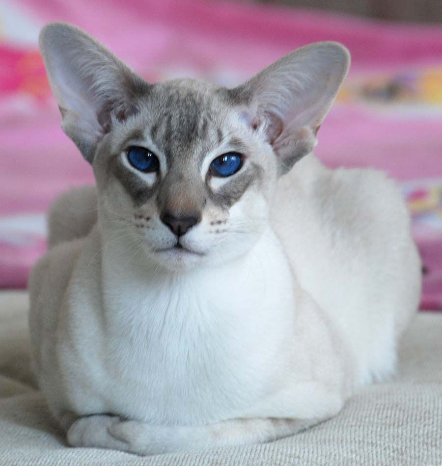 Oriental Cat Oriental Shorthair Cats Siamese Cats Cat Breeds