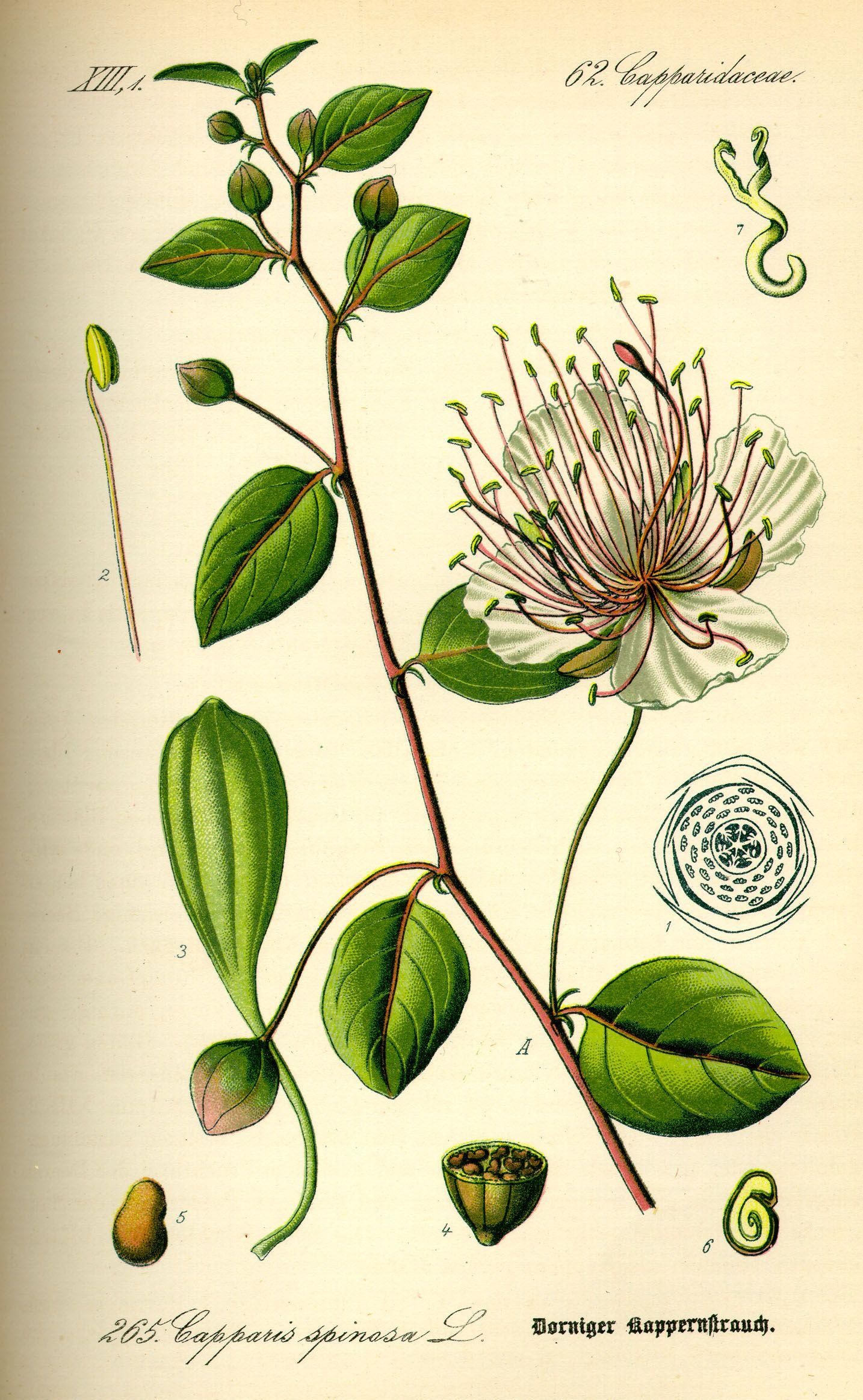 flowers chart with names in english illustration capparis botanical flowers botanical drawings botanical prints [ 1434 x 2325 Pixel ]