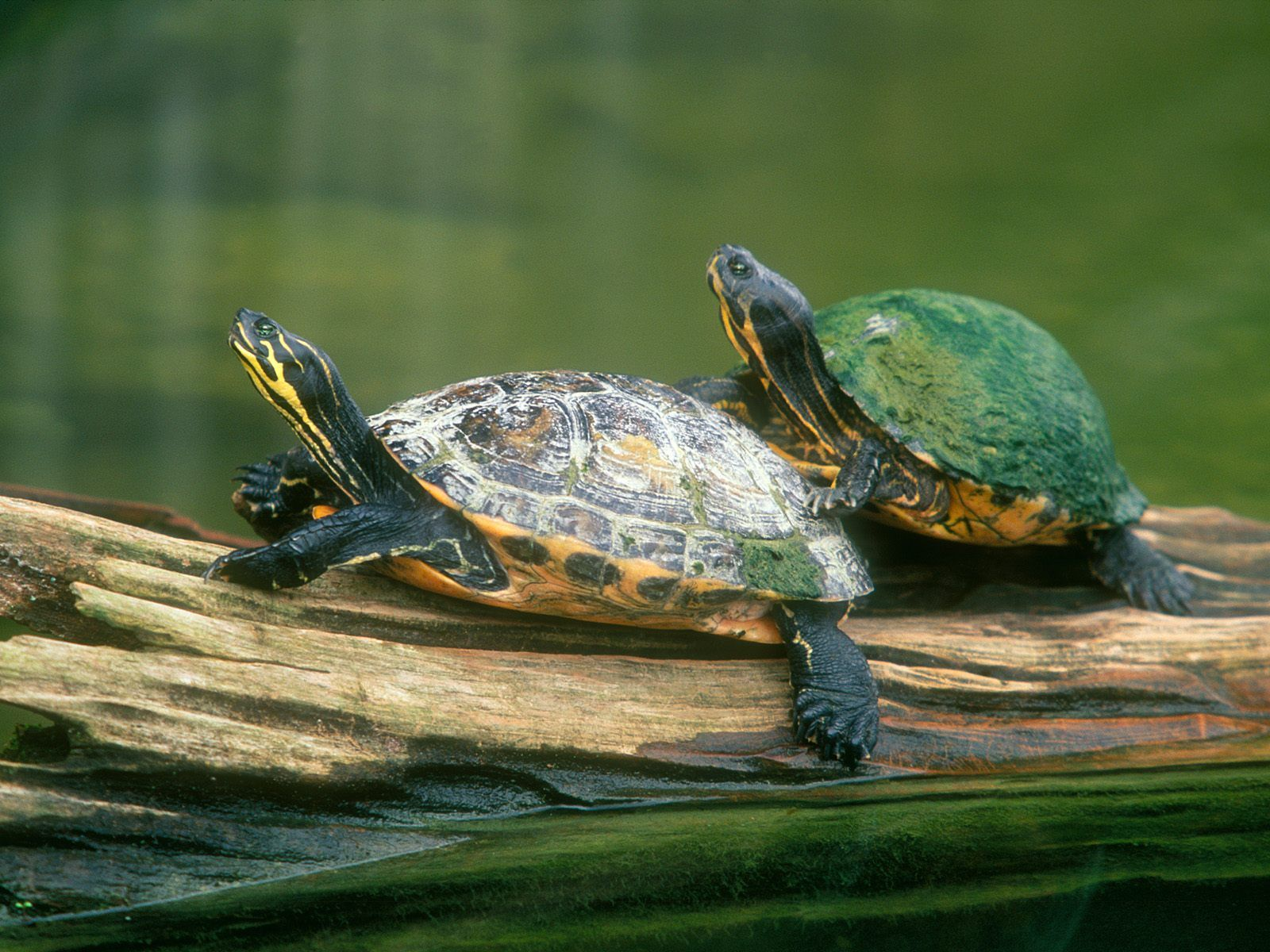 Turtles on a log 181 Turtle, Turtle images, Freshwater