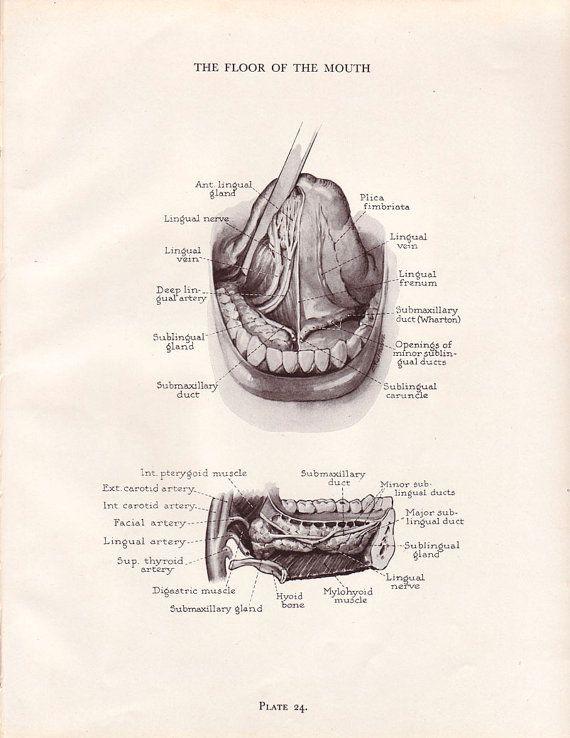 Vintage Dental Anatomy Print Human Mouth Teeth Jaw by AgedPage ...