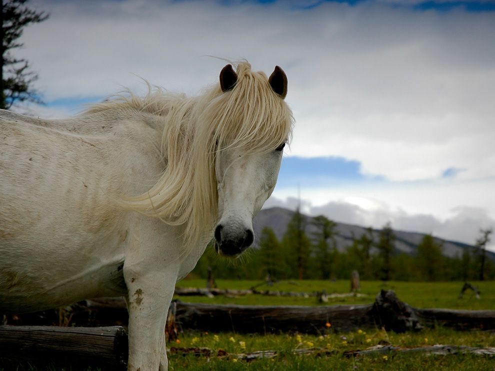 Wild Horse, Mongolia.   Photograph by Chris Neale