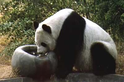 Giant Panda-china.org.cn