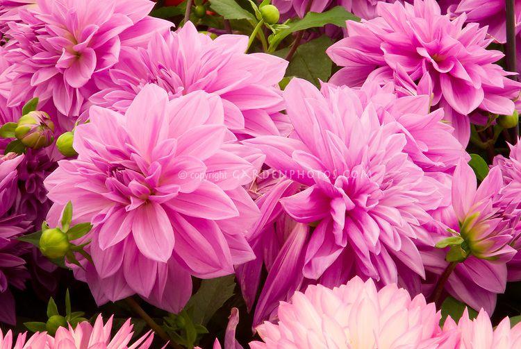Dahlia Sascha Waterlily Dahlia By Graham Rice Gardenphotos Com