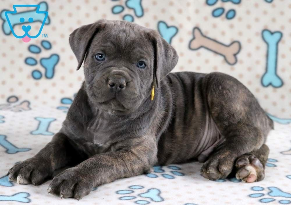 Jojo Cane Corso Puppy For Sale Keystone Puppies Cane Corso