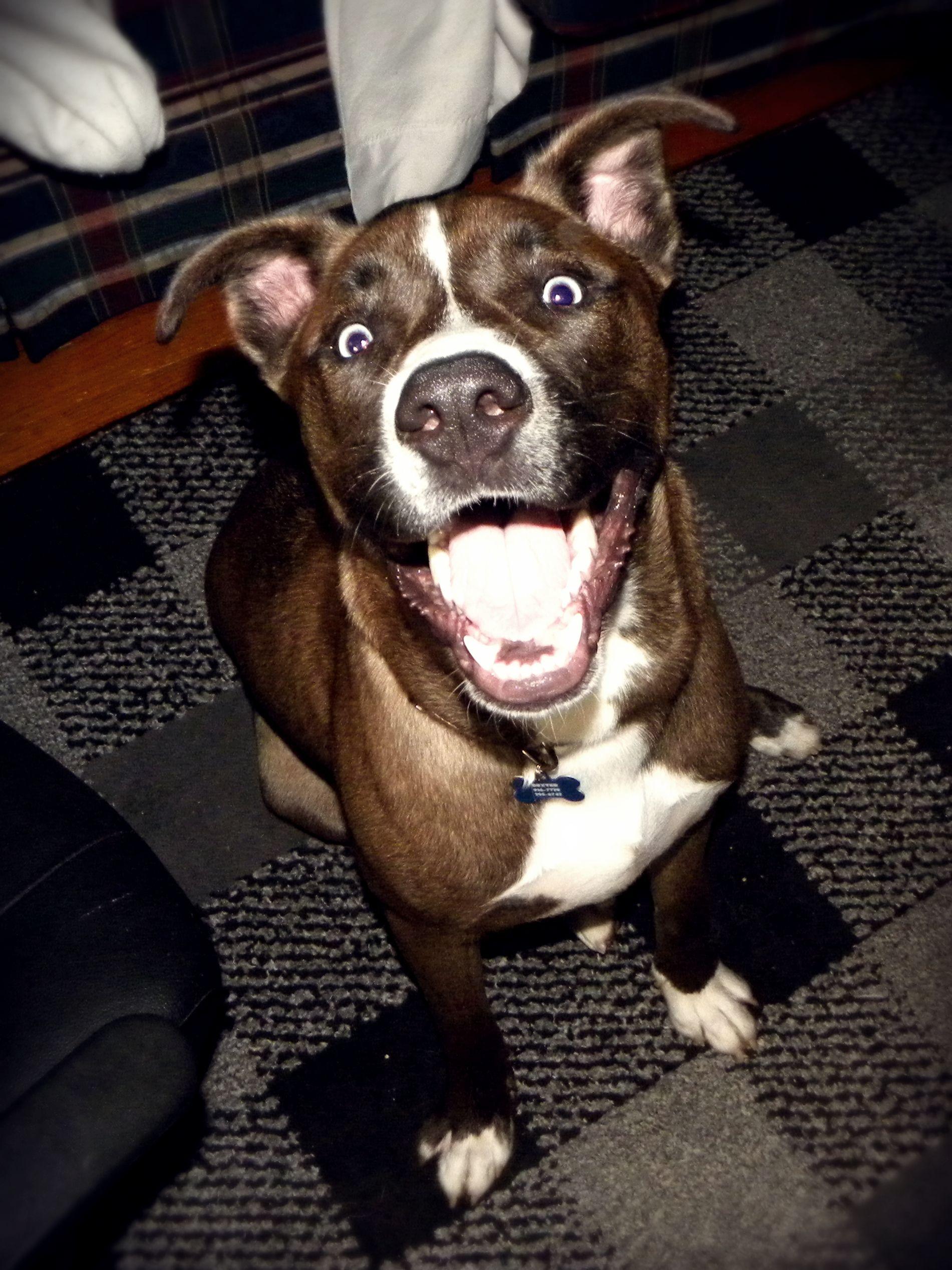 Dexter My Husky Pitbull Blue Heeler Mix Blue Eyed Dog Pitbull