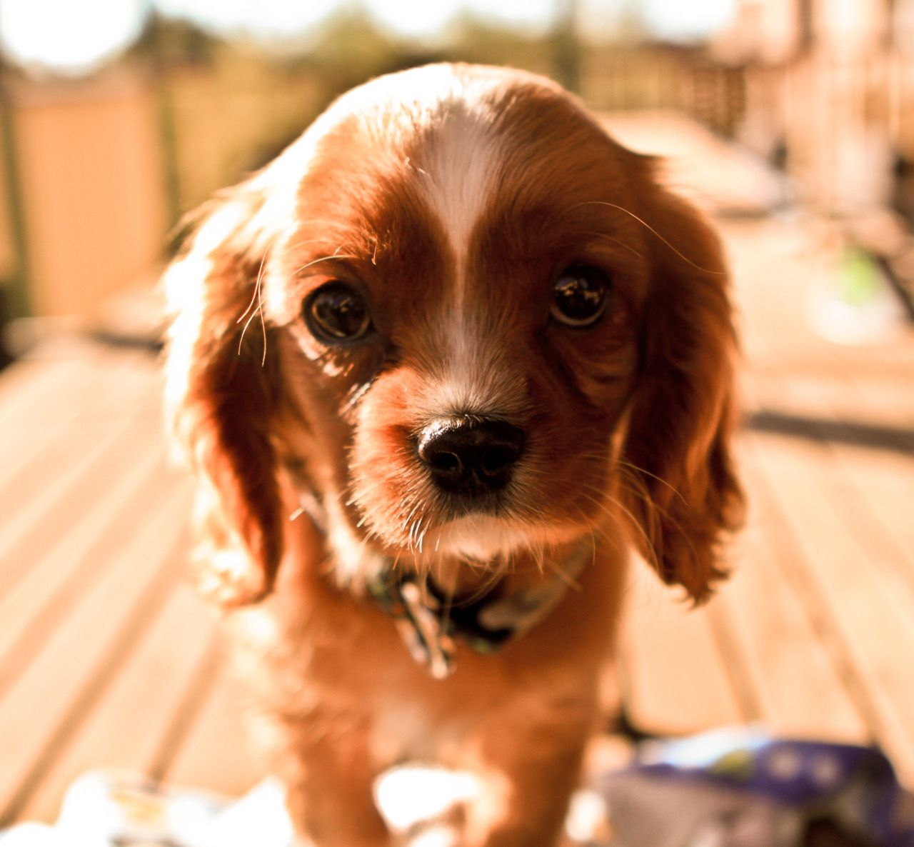 That Face It Gets Me Every Time Love Those Cavaliers Cute