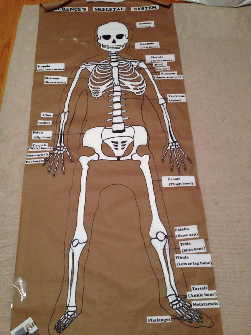 Great for grade 5 science project. This student did the skeletal system for  our human bo…   Skeletal system activities [ 1136 x 852 Pixel ]