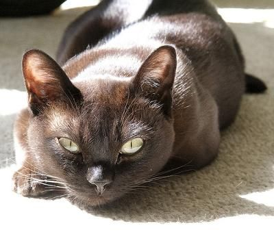 The ancestry of Burmese cats can be traced back to one cat