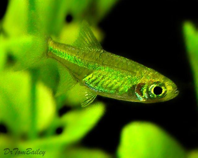 Green dwarf rasbora google search aquascape for Green water in fish tank