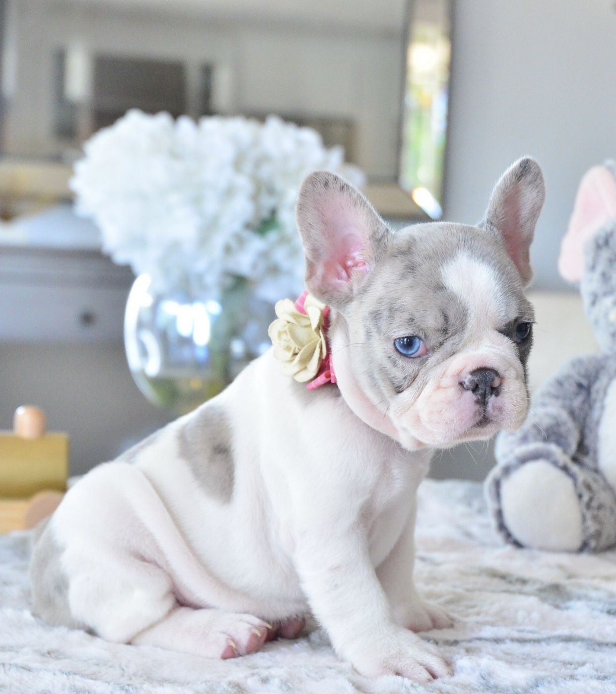 P O R T I A Blue Pied Merle Female Available Www Poeticfrenchbulldogs Com Frenc French Bulldog Puppies Cute Dogs And Puppies Bulldog Puppies