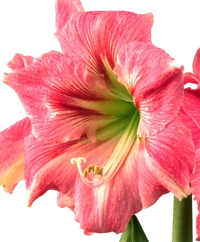 Amaryllis Candy Floss Christmas Flowering Single Amaryllis Amaryllis Flower Bulb Index Bollen