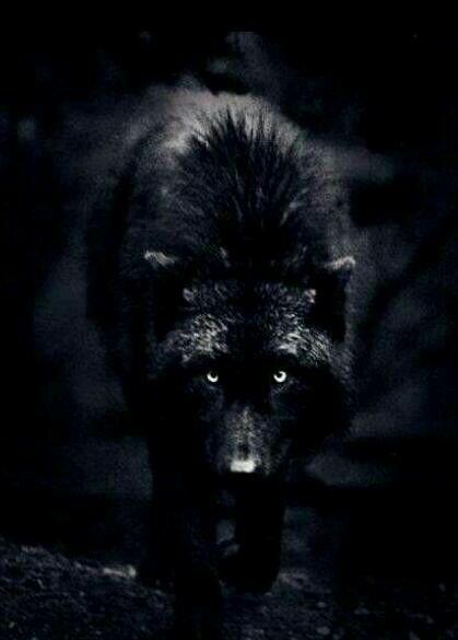 Black Wolf Lupi Cane Lupo Lupi Neri E Animali Selvatici