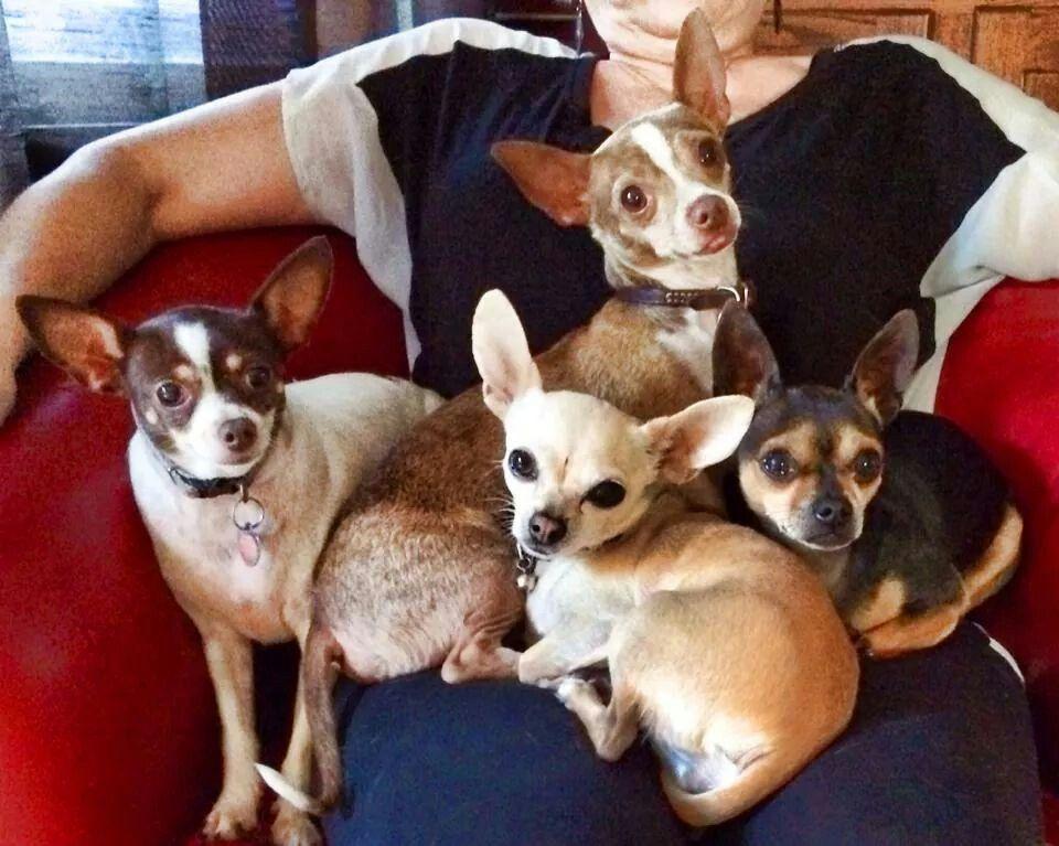 Chihuahua Rescue Of San Diego Chihuahua Puppies Chihuahua Lover Chihuahua Rescue