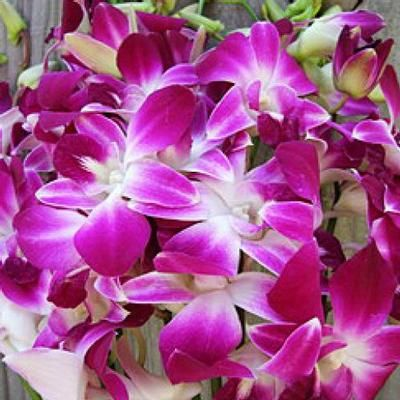 Dendrobium Orchid Bombay Wholesale Flowers Dendrobium Orchids Orchids