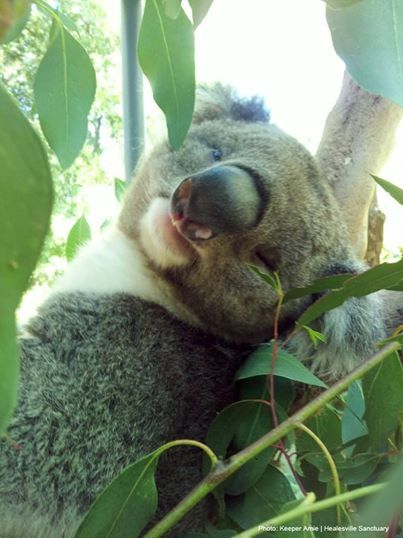 This is koala, Benni, from Healesville Sanctuary. He is dad to Steve, Dindi and the Sanctuary's newest joey, the first girl to be born at Healesville Sanctuary in eight years! | www.zoo.org.au
