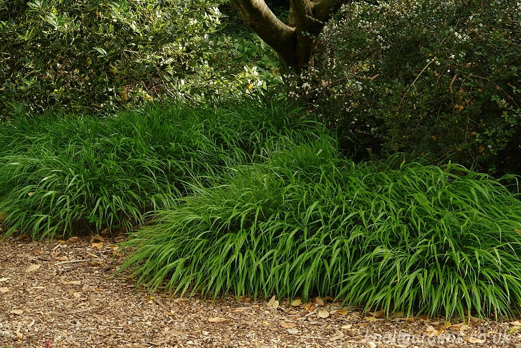 Hakonechloa macra | Perennials and Gardens