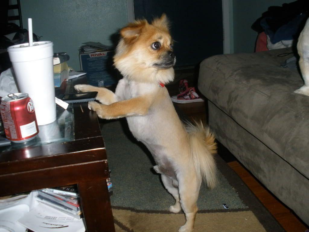 Long Hair Chihuahua Lion Haircut Google Search