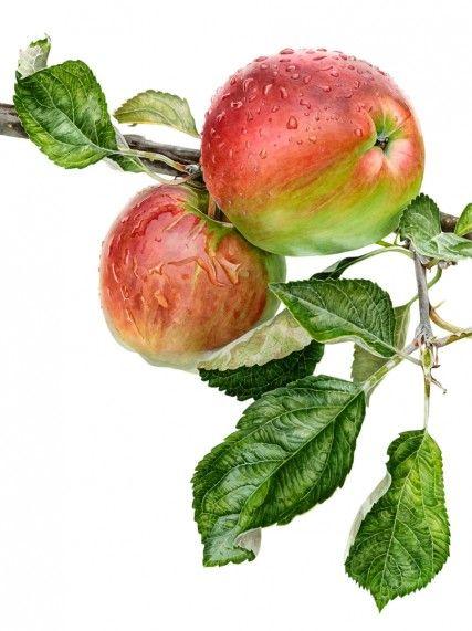 "Anna Mason Art | Apple 'Acme' Botanical print from an original watercolor £195, 18"" x 24"",  Shipped worldwide http://annamasonart.com"