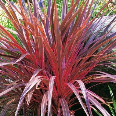 Cordyline australis 39 electric pink 39 gr ser pinterest plantes m diterran ennes plantes et - Cordyline feuilles qui jaunissent ...