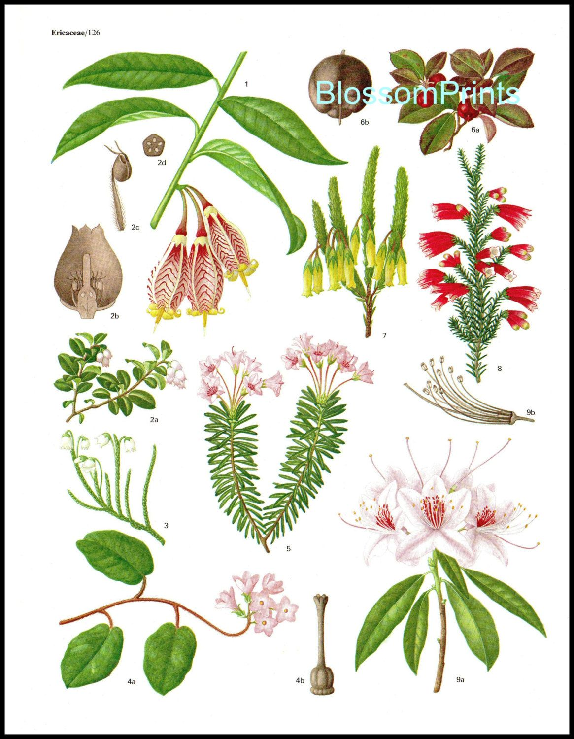 Ericaceae The Family Heath Rhododendron From The Book Flowering Plants Of The World Plate 9 Planting Flowers Plants Rhododendron