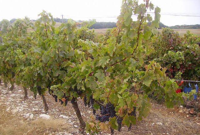 Vignobles IGP de Thézac - Fumel (47 - France)