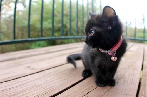 cat, kitty, kitten, adorable, little, cute, furry, fluffy, pet, black cat, black kitty, pink,
