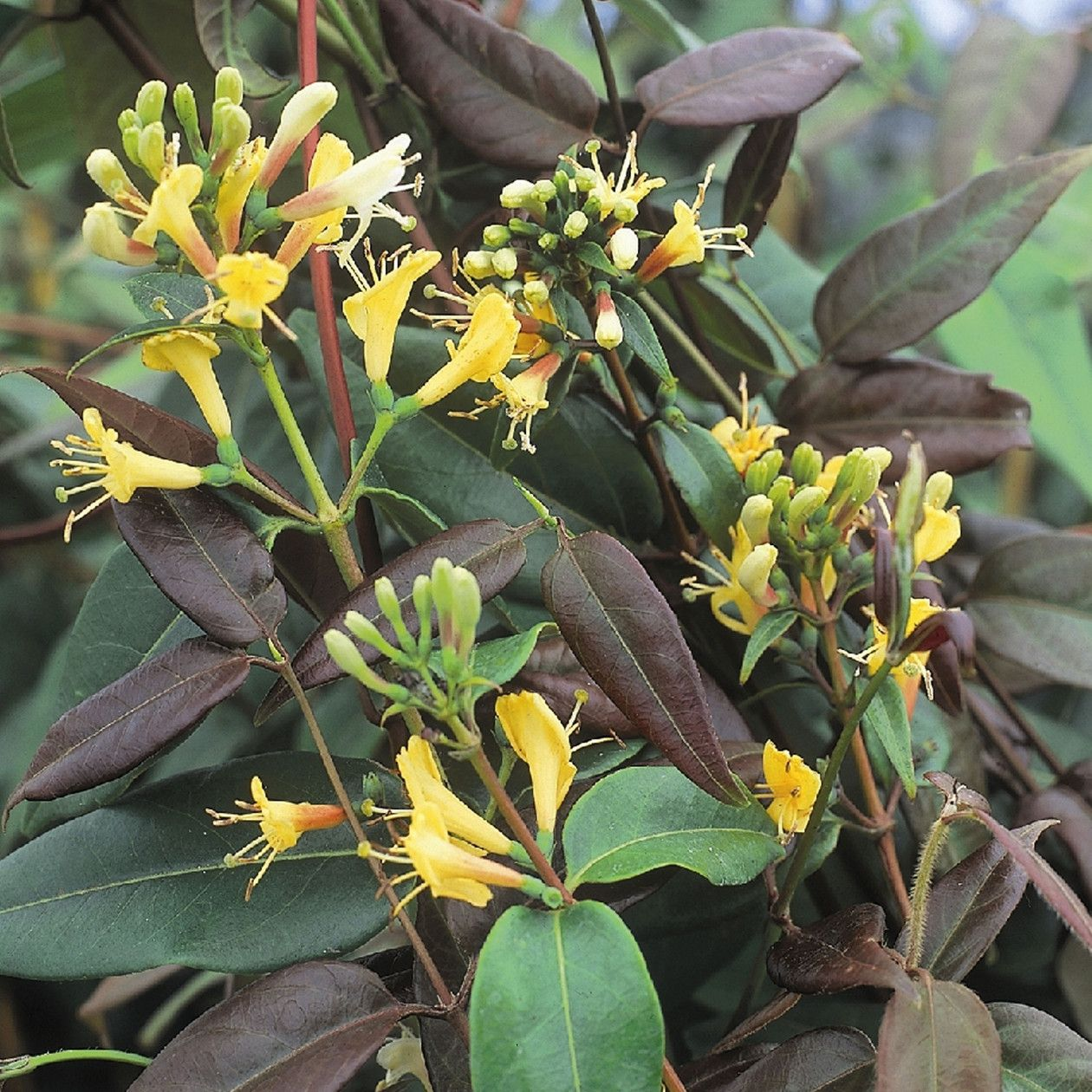 Curly honeysuckle: planting and care, description, photo 38