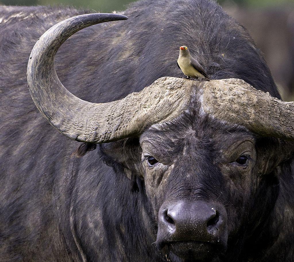 Oxpecker On Cape Buffalo Animals African Buffalo