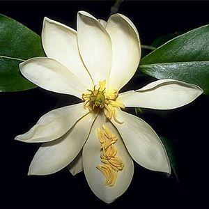 Magnolia Virginiana Apos Sweetbay Apos Sweetbay Magnolia Sweetbay Magnolia Plants