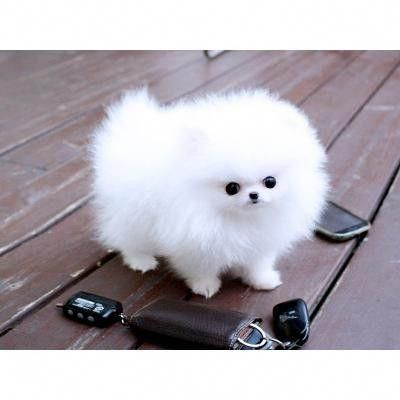 White Teacup Pomeranian Puppies - Louisville, KY | ASNClassifieds #pomeranianbla... - fofura - #ASNClassifieds #fofura #Louisville #Pomeranian #pomeranianbla #Puppies #Teacup #White #teacuppomeranianpuppy White Teacup Pomeranian Puppies - Louisville, KY | ASNClassifieds #pomeranianbla... - fofura - #ASNClassifieds #fofura #Louisville #Pomeranian #pomeranianbla #Puppies #Teacup #White #teacuppomeranianpuppy