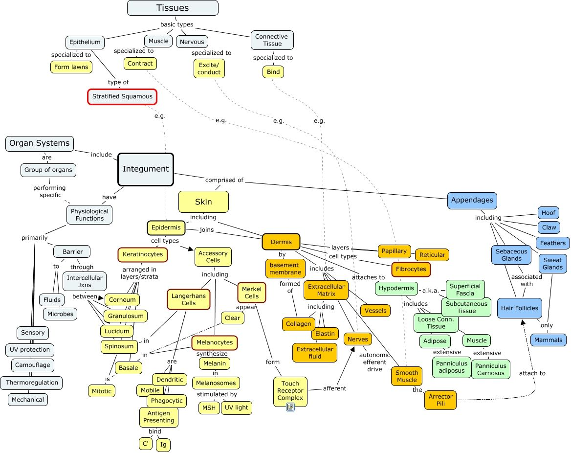 Concept Map Integumentary