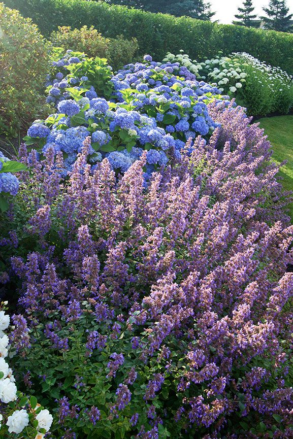 Nepeta Walker S Low Mixed With Blue Hydrangea Beautiful Flowers Garden Beautiful Gardens Gorgeous Gardens