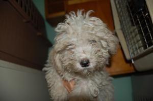 Adopt Ferris On Bichon Frise Dogs Dogs Dog Adoption