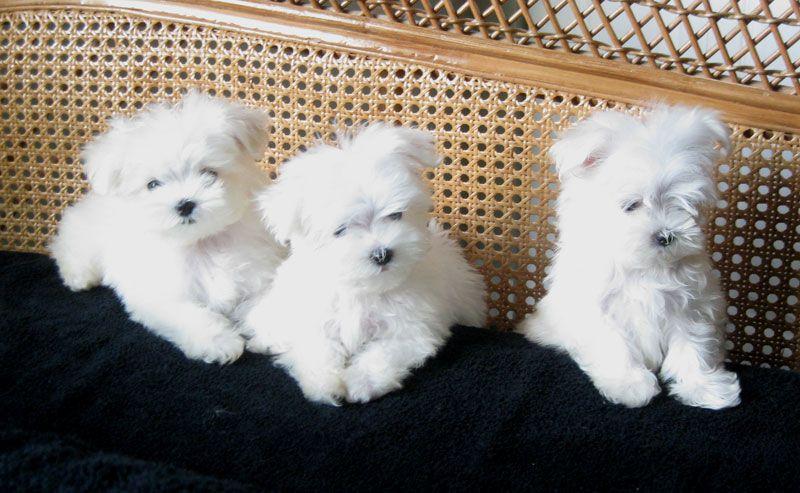 13 Weeks Teacup Maltese Puppies From Lachicpatte Com Teacup