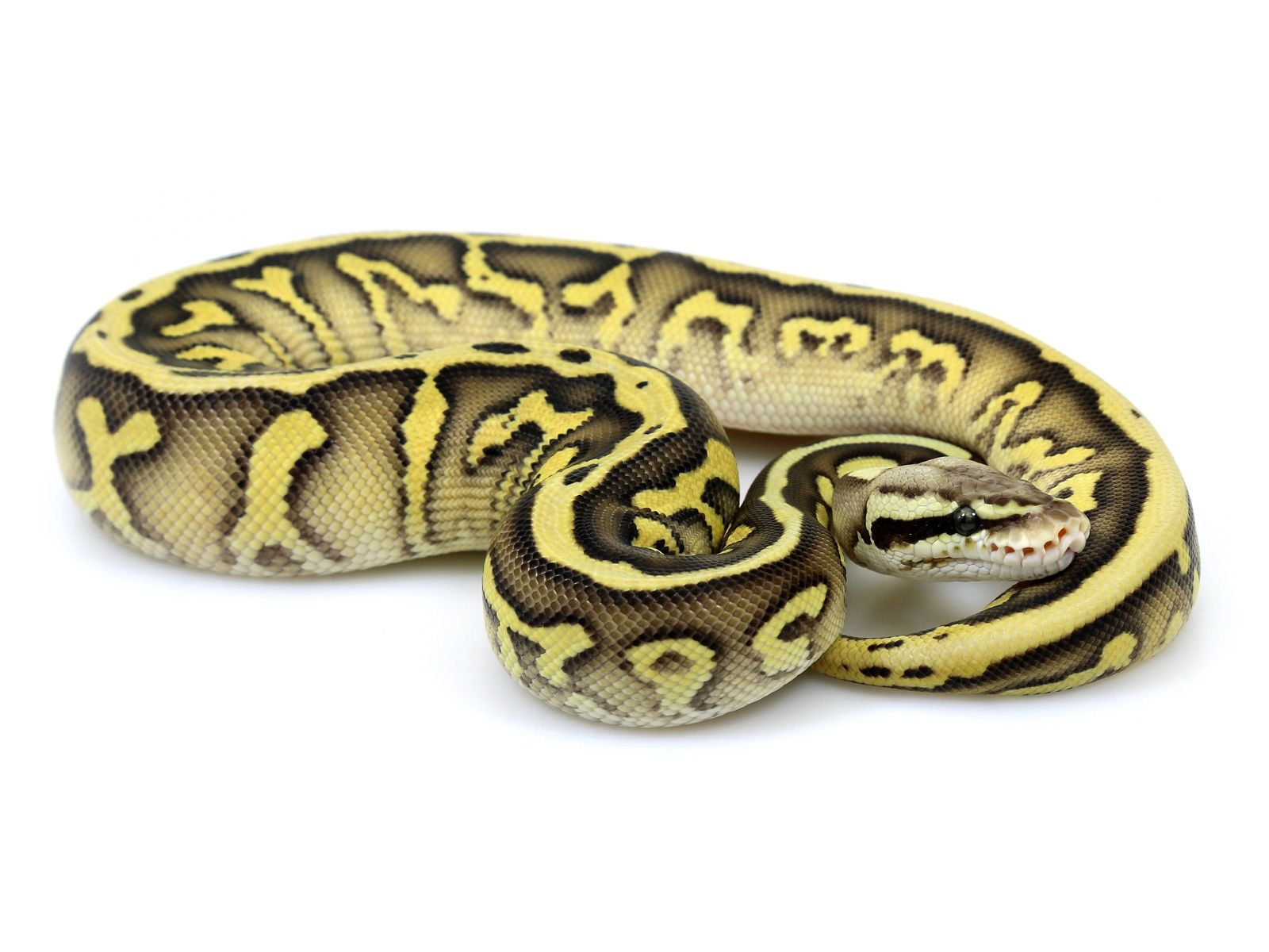 albino black pastel ball python - HD 1600×1200