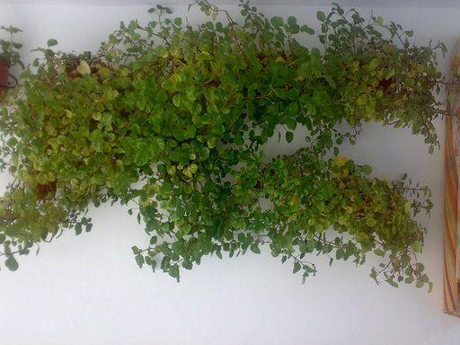 Planta del dinero cuidar de tus plantas es facilisimo - Plantas para atraer el dinero ...