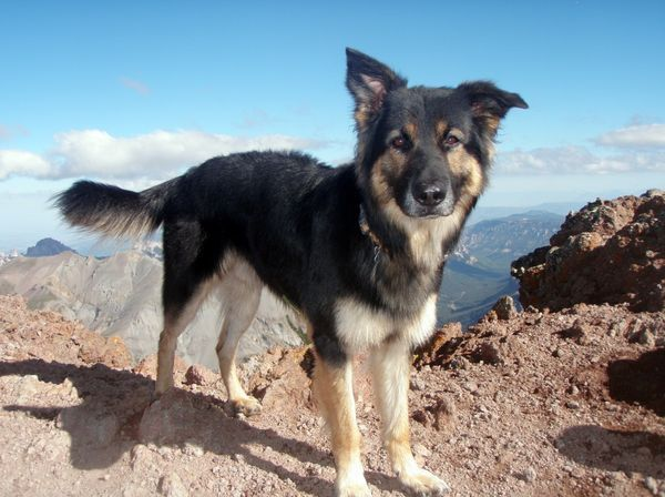 Pictures Of German Shepherd Collie Mix Dogs