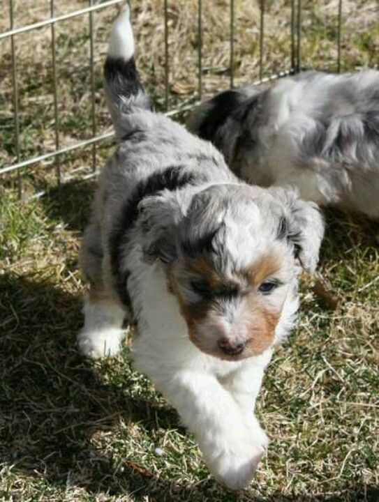 Australian Shepherd And Poodle Mix Sooo Cute Puppies Cute Animals Aussiedoodle