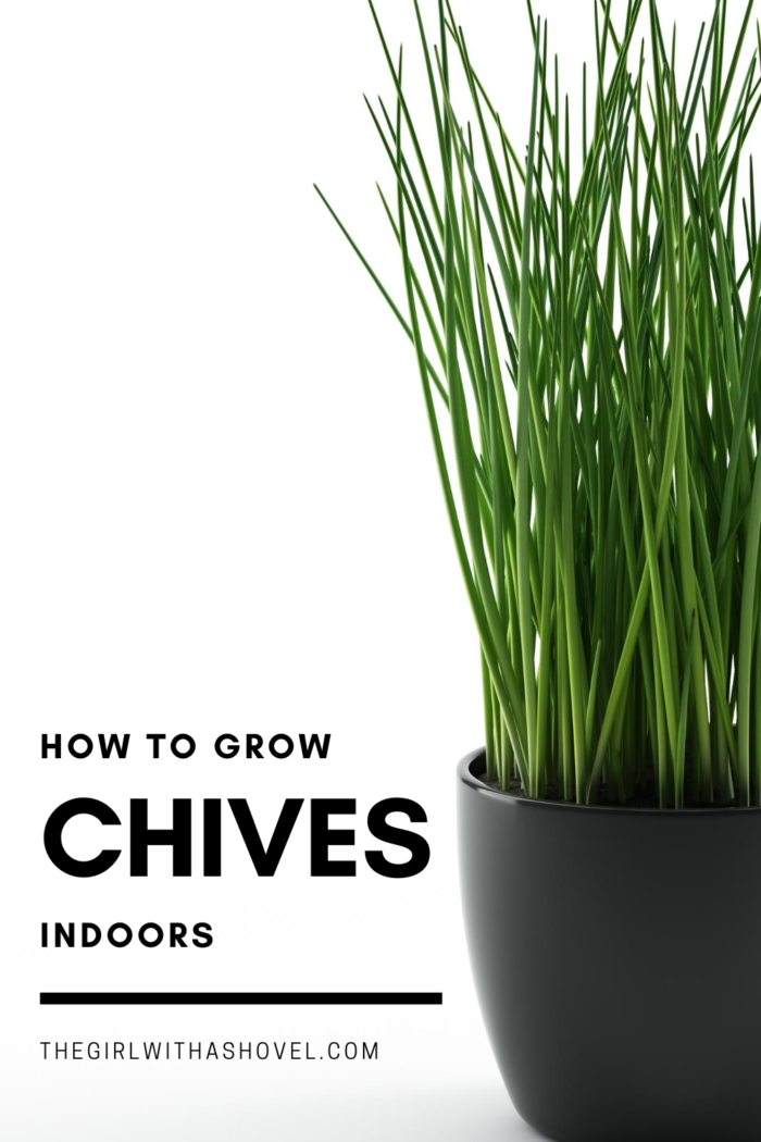 10 Proven Tips How To Grow Chives The Gardening Dad In 2021 Growing Chives Vegetable Garden Raised Beds Vegetable Garden Planner