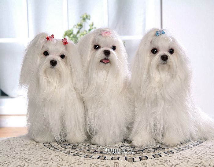 Maltese Maltese Dogs Dogs Maltese