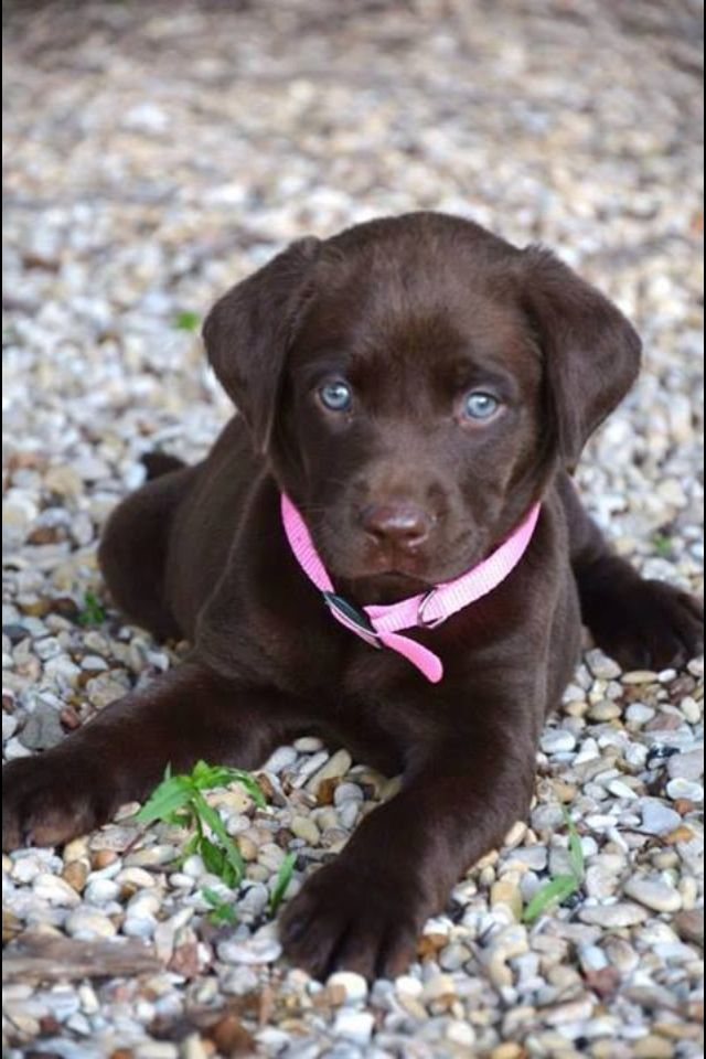 Pretty Female Chocolate Lab Puppies Puppies With Blue Eyes Lab Puppies