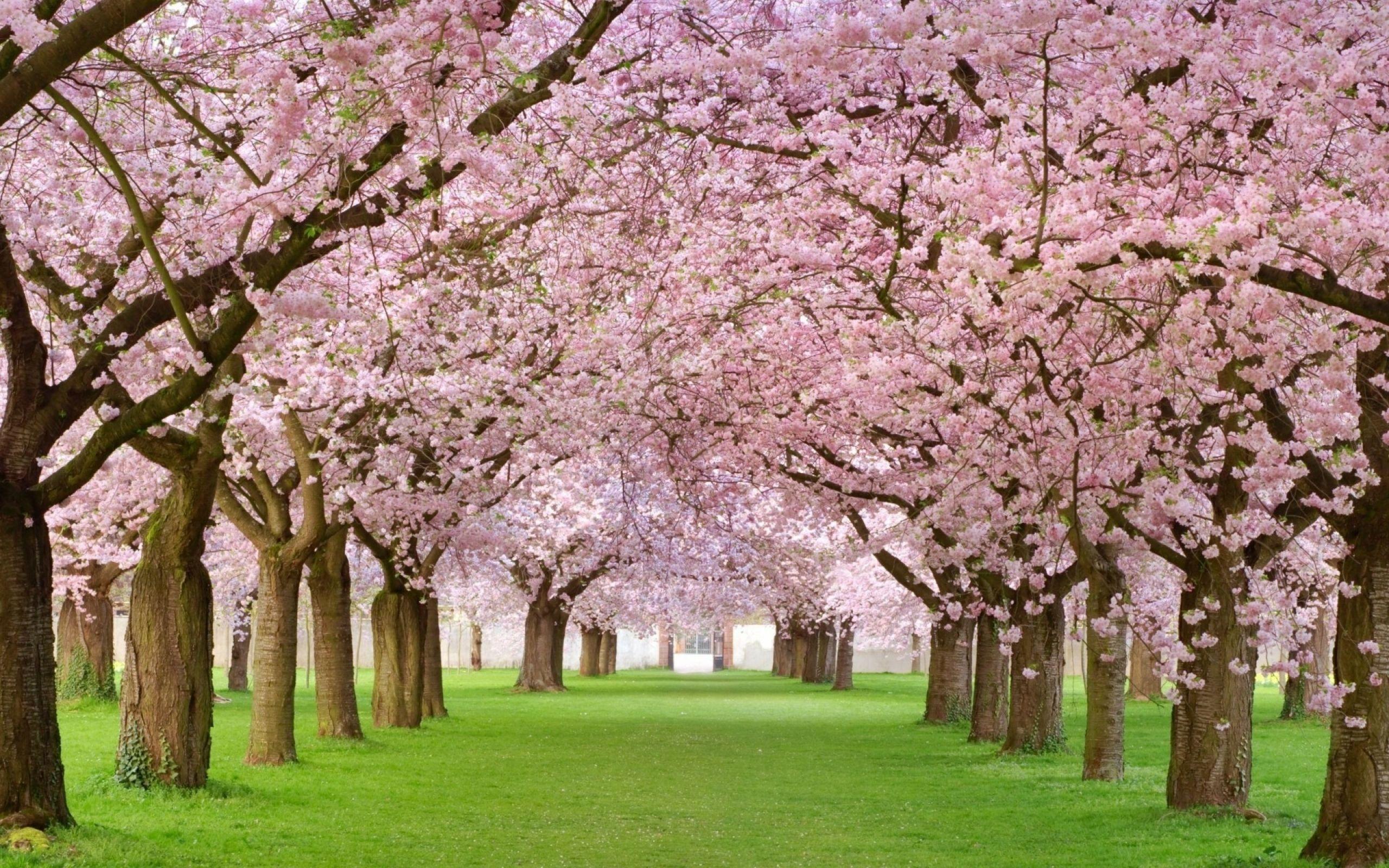 Cherry Blossom Tree Google Search Bunga Sakura Pemandangan Mawar Cantik