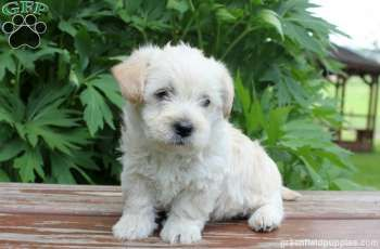 Elsa Westie Mix Puppy For Sale In Pennsylvania Puppies