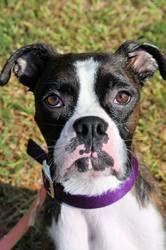Adopt Sasha On Boxer Dogs Dogs Pup