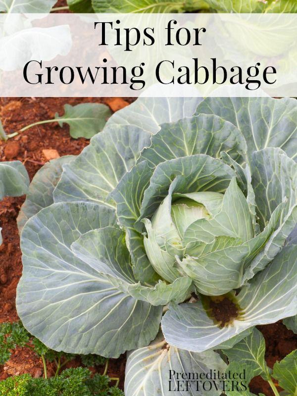 M s de 25 ideas incre bles sobre cultivo de repollo en - Consejos de jardineria ...