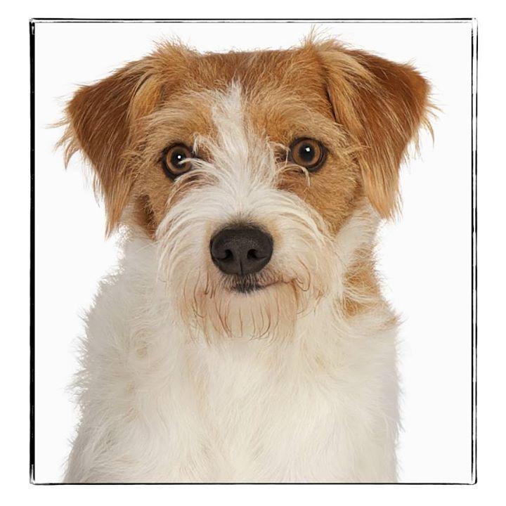 Kromfohrlander Dog Breed Information Dog Breeds Jack Russell Jack Russell Terrier