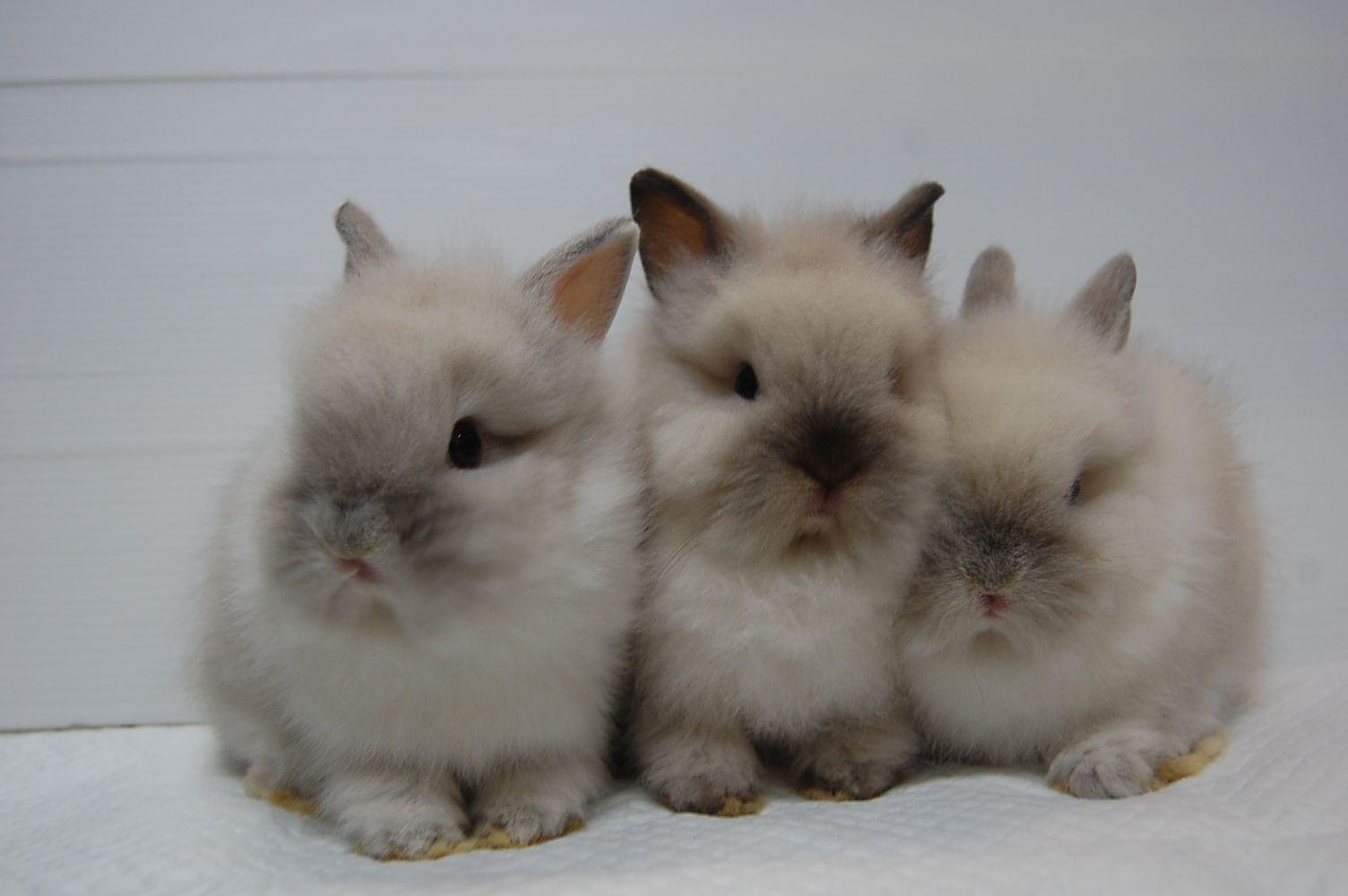 Rabbits ラビッツ うさぎブリーダー専門店 大阪府吹田 ミニウサギ うさぎ かわいいウサギ
